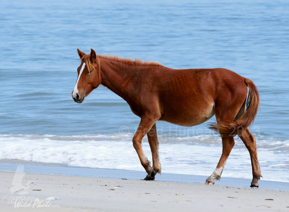 North carolinas wild horses sciox Images