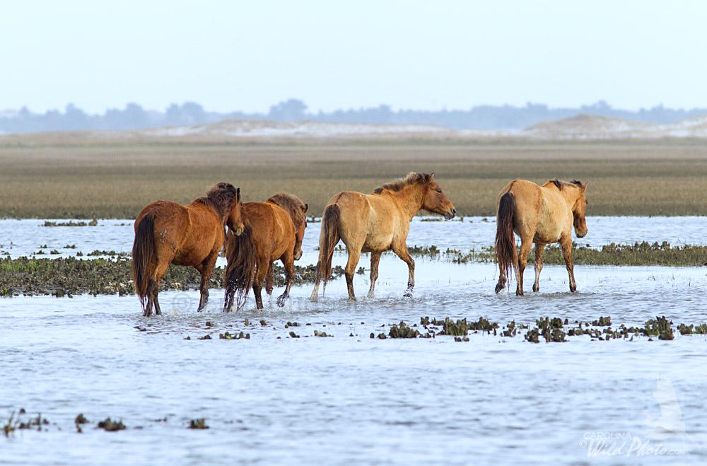North Carolina S Wild Horses